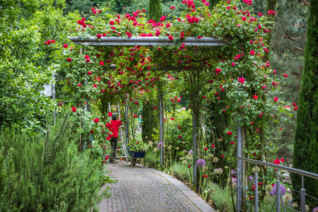 MERANO (Bolzano), South Tyrol, italy - june 27, 2018: Male professional gardener arranges red rose plants at the Trauttmandorff Garden in Meran Editorial