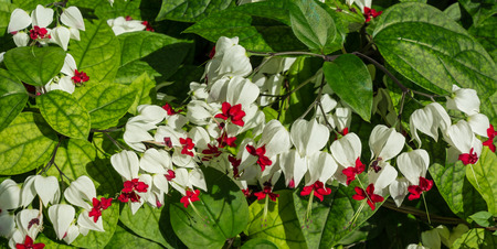 Bleeding Heart or Bleeding Heart Vine, Clerodendron or Glory Bower, Clerodendrum thomsonii (Clerodendrum thomsoniae), Lamiaceae