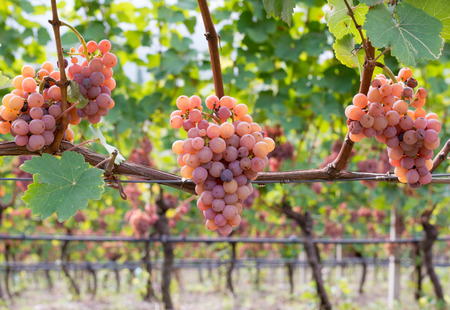 gewurztraminer grape variety.The origins of gewurztraminer seem to be found in the Alto Adige region of Italy and focus on the village of Tramin in the Tyrollean Alps. Guyot Vine Training System 免版税图像