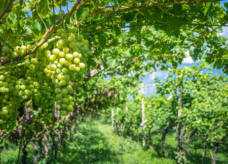 Chardonnay Grapes on Vine in Vineyard, South Tyrol, Italy. Chardonnay is a green-skinned grape variety used in the production of white wine.