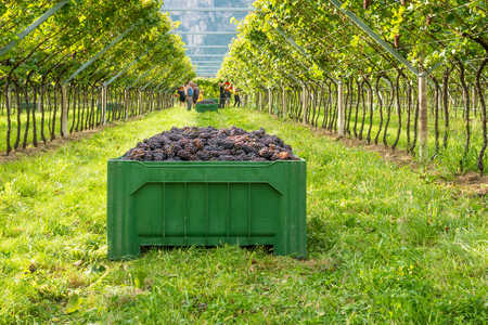 Crate of harvested grapes and rows of vines during the grape harvest in the South Tyrol / Trentino Alto Adige, northern Italy.