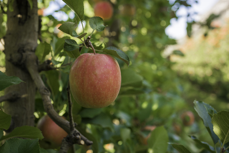 ripe pink lady apples variety on a apple tree at South Tyrol in Italy. Harvest time in apple country South Tyrol. Selective focus Stock Photo