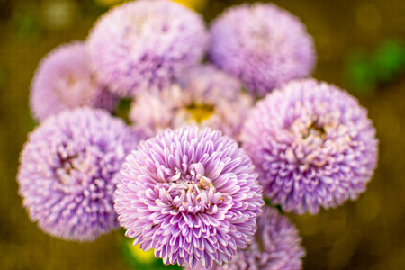 purple asters close up Stock Photo