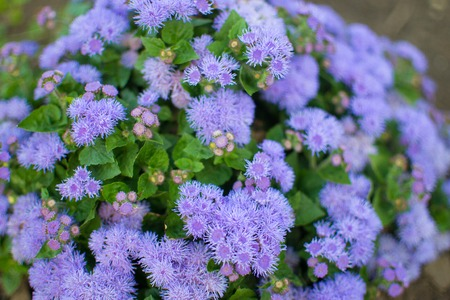 Flossflower (Ageratum houstonianum) in garden, Russia Stock Photo