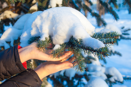 Womens hands in winter, touch the snow-covered branches of blue spruce. Winter