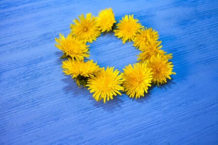 yellow dandelions on blue wooden background. flower