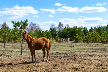 Brown foal grazing in a clearing. Beautiful pastoral landscape. Russia Zdjęcie Seryjne - 130145216