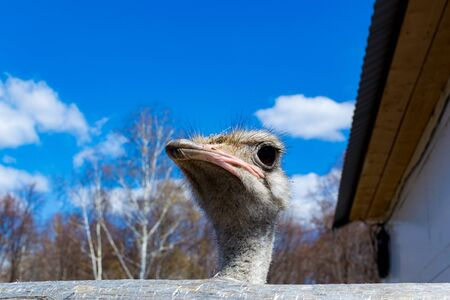 the head of the ostrich. Ostrich in the zoo russia Reklamní fotografie