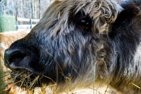 Yaks face in the zoo close-up. Russia, Republic Of Bashkortostan 2019