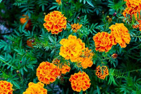 Beautiful marigold flowers. Close-up marigold flowers (Tagetes erecta)