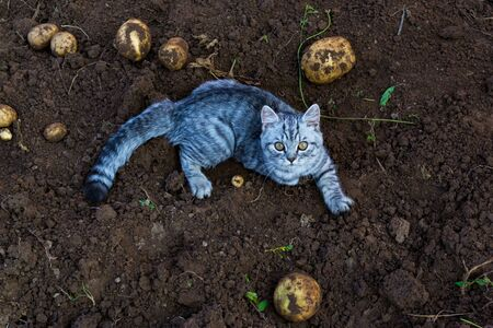 cat and potato. the cat is sorting potatoes