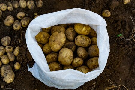 Potatoes in bags and in a wooden box on the field. Russia