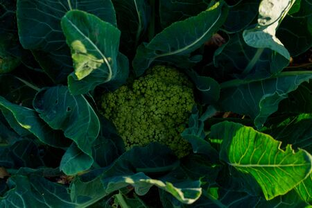 cauliflower in the garden. cabbage Zdjęcie Seryjne