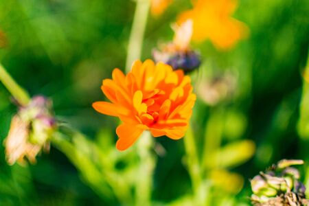 calendula flower in the garden