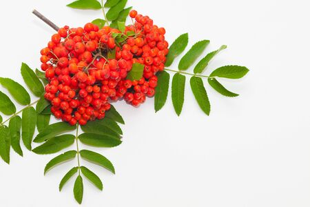 Branch of red mountain ash on a white background