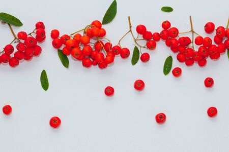 clusters and berries of red mountain ash on a white background Zdjęcie Seryjne