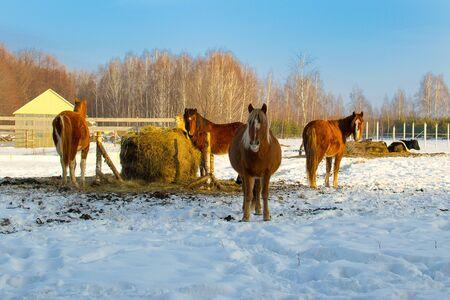 horses in winter feeding on hay. Stockfoto