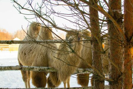 Camel in the snow at zoo