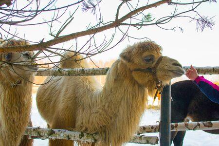 girl stroking a camel. Winter, snow white. Stockfoto