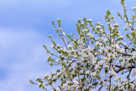 Blooming branch of an Apple tree against the blue sky 版權商用圖片
