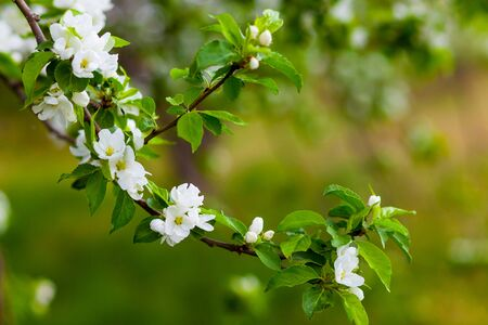 Blooming apple tree branch on a natural blurred background Stock Photo
