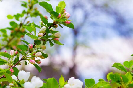Blooming apple tree branch on a natural blurred background 版權商用圖片
