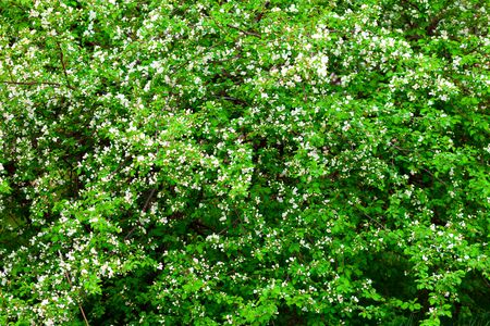 Blooming Apple tree in the orchard