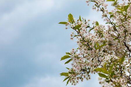 cherry blossom against the sky, copy space