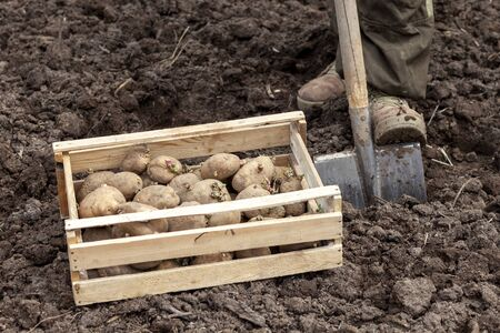 A man plants potatoes in a farmer's field. A shovel and a box of potato seeds