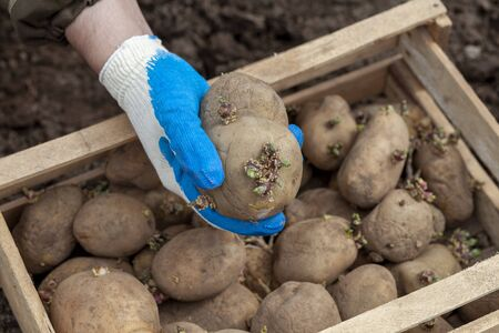 A gloved hand holds a potato tuber before planting, a box of potato seeds in the background