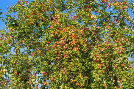 Branches of an Apple tree with red fruits against a blue sky Stockfoto