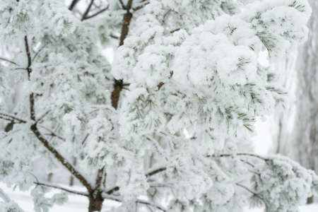 Pine branches covered with snow, winter time