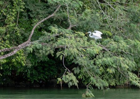 A white beautiful heron among the branches ready to start a fly among reen dense tropical vegetation and green peaceful water
