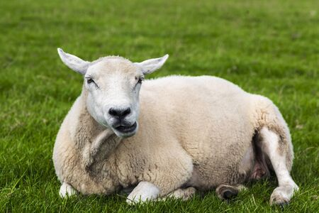 Sheep chewing grass and relaxing on a green meadow, Dingle, Ireland