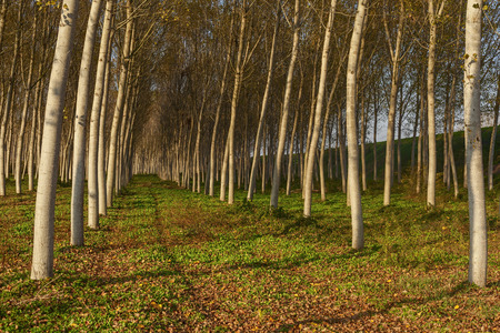 the po valley: poplars alley in the italian country Stock Photo