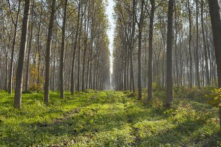 poplars: beautiful poplars alley in an italian forest