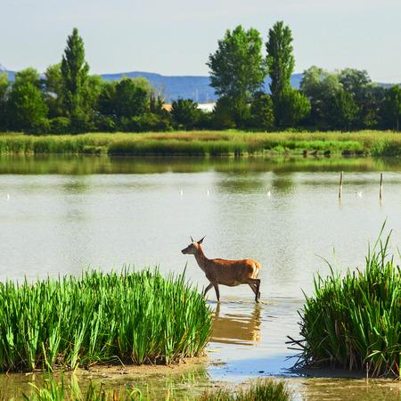 greeen: beautiful deer in salburua park Stock Photo