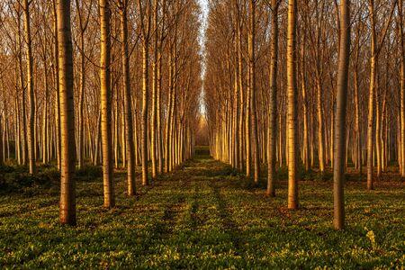 beautiful poplars alley in the countryside Фото со стока