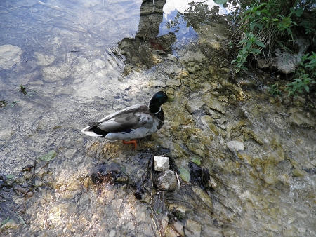 A Wild Duck, A Course in Water photo