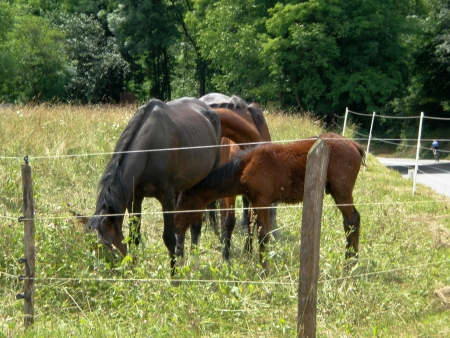 horse grazing,behind the fence,mare with foal photo