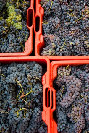 Wine grapes in red crates