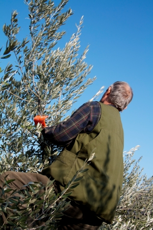 Man climbing on an olive tree to harvest olives with a metallic harvest in the bottom part