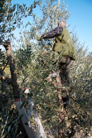 Man climbing on an olive tree to harvest olives with a metallic harvest in the bottom part photo