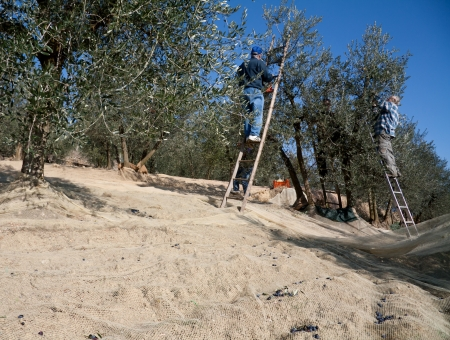 Men harvesting olives on ladders in the Tuscany country. The harvest is still made in traditional way by hands. photo