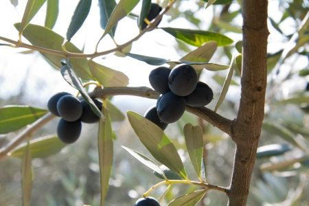 Olive branch with olives. Image taken in November before the olives harvesting photo