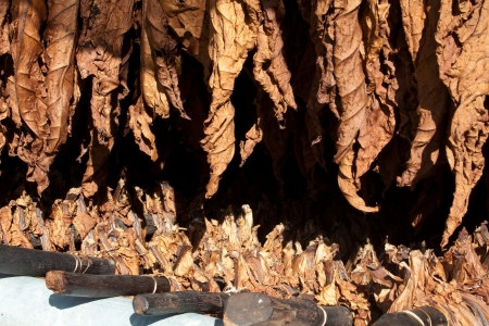 desiccation: Tobacco leafs, hanged to dry before processing. Stock Photo