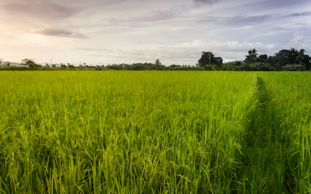 An evening on a paddy field at Kg Sumbilingon, Kota Marudu, Sabah  photo