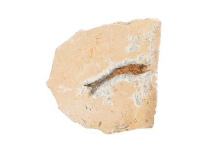prehistoric fish: Single fish fossil Stock Photo
