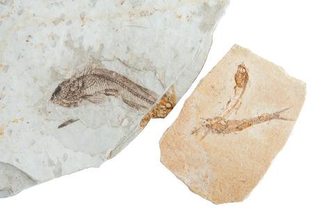 prehistoric fish: three fossils fishes