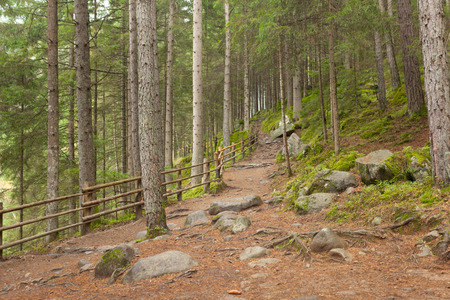 brings: inside a typical forest of the Italian Alps a path brings you long the woods